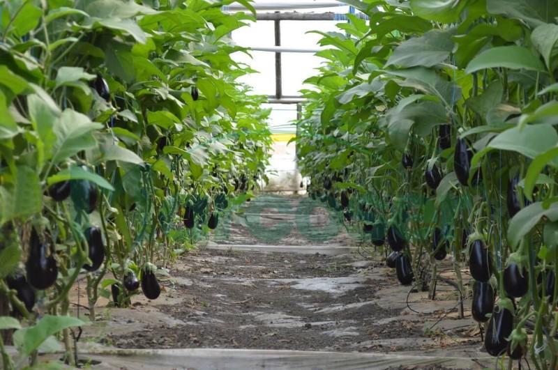 Agricultorii au supra-producție de vinete și castraveți: am ajuns să le aruncăm la gunoi, nu se cumpără